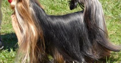 Yorkshire Terrier é uma raça de cachorro corajoso e companheiro