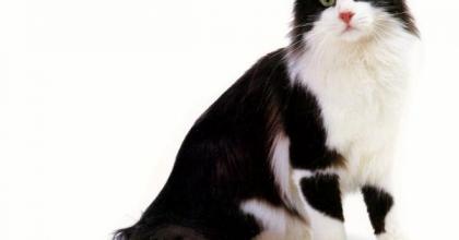 American Curl é uma raça de gato conhecida como 'Peter Pan'