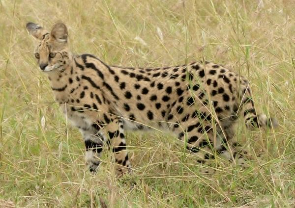 Serval Africano