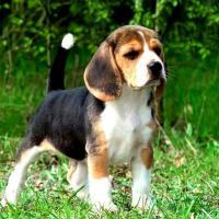 Veja fotos e conheça a raça de cachorro Beagle