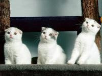 Fotos de gato Scottish Fold
