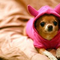 Cachorro Chihuahua de pelo longo e pelo curto são exóticos