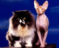 Foto da raça Persa e Sphynx