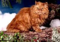 Imagem de gato Persa