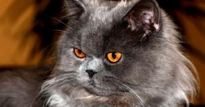 Gato Angorá Turco é a raça de gato com pelo longo