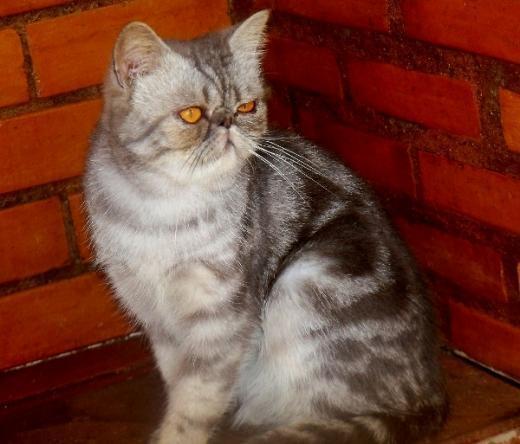 Foto de gato Exótico