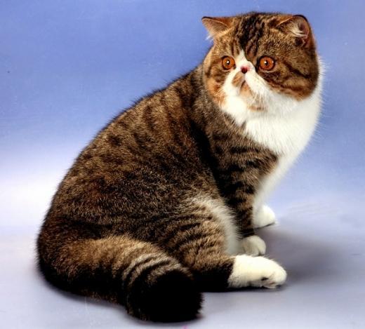 Foto da raça de gato Exótico