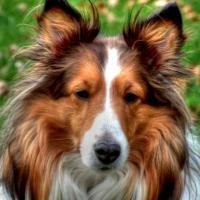 Collie é a raça da Lassie, uma raça de cachorro muito elegante
