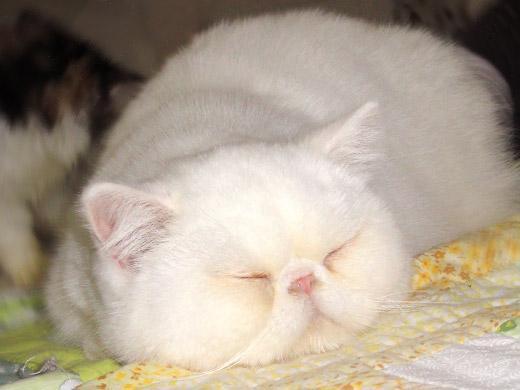 Raça de gato Exótico
