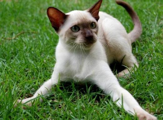 Foto de gato Siamês
