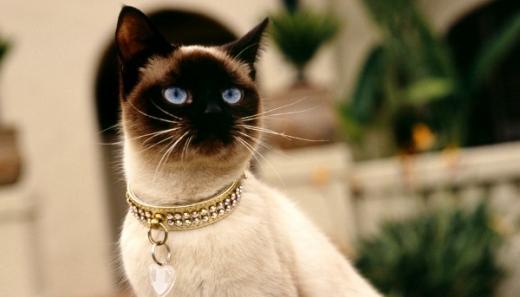 Raça de gato Siamês