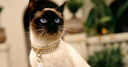 O Siamês é uma raça de gato apegado ao dono e muito carinhoso