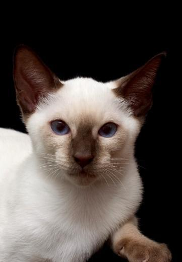 Imagem de gato Siamês