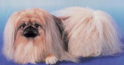 Pequinês é um cachorro pequeno e muito ciumento