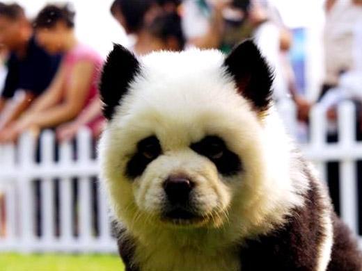 Foto de cachorro Chow Chow Panda