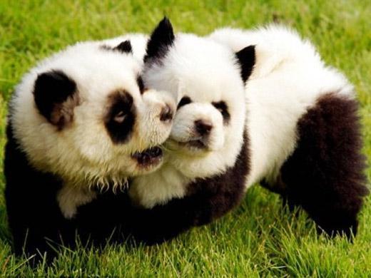 Foto de raça Chow Chow Panda