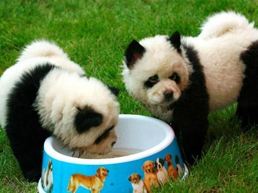 Imagem de Cachorro Panda
