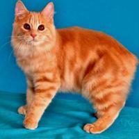 Gato Manx é uma raça de gato sem cauda; Veja fotos