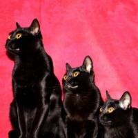 Gato Bombay é uma raça de gato preto brilhante e olhos amarelos
