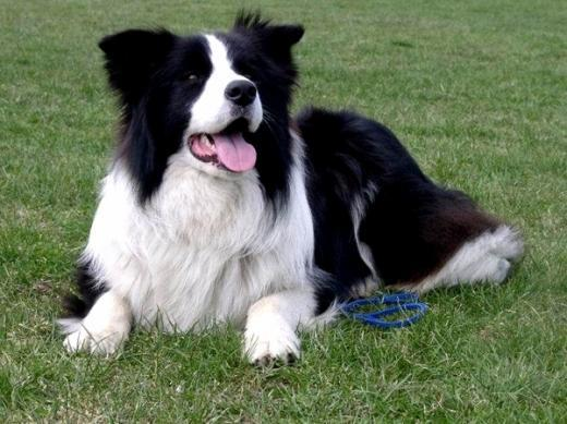 Ra�a de cachorro Border Collie