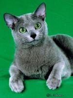 Imagem de gato Russo Azul