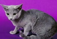 Imagem gato Russo Azul