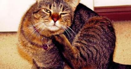 Conheça os parasitas que podem alojar em seu gato e no ambiente, saiba o que fazer para eliminar as pulgas