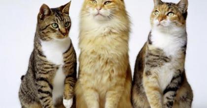 Apesar de domesticados, os gatos têm caráter e instintos naturais de um felino, saiba mais da história dos gatos