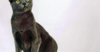 Korat é uma raça de gato de pelagem única na cor azul-prateado