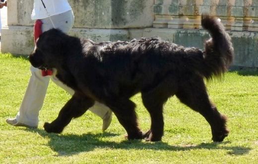 Foto da raça de cachorro Terra Nova