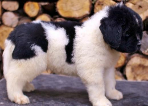 Imagem do cão Terra Nova