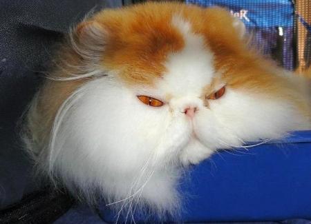 Raça de gato Persa